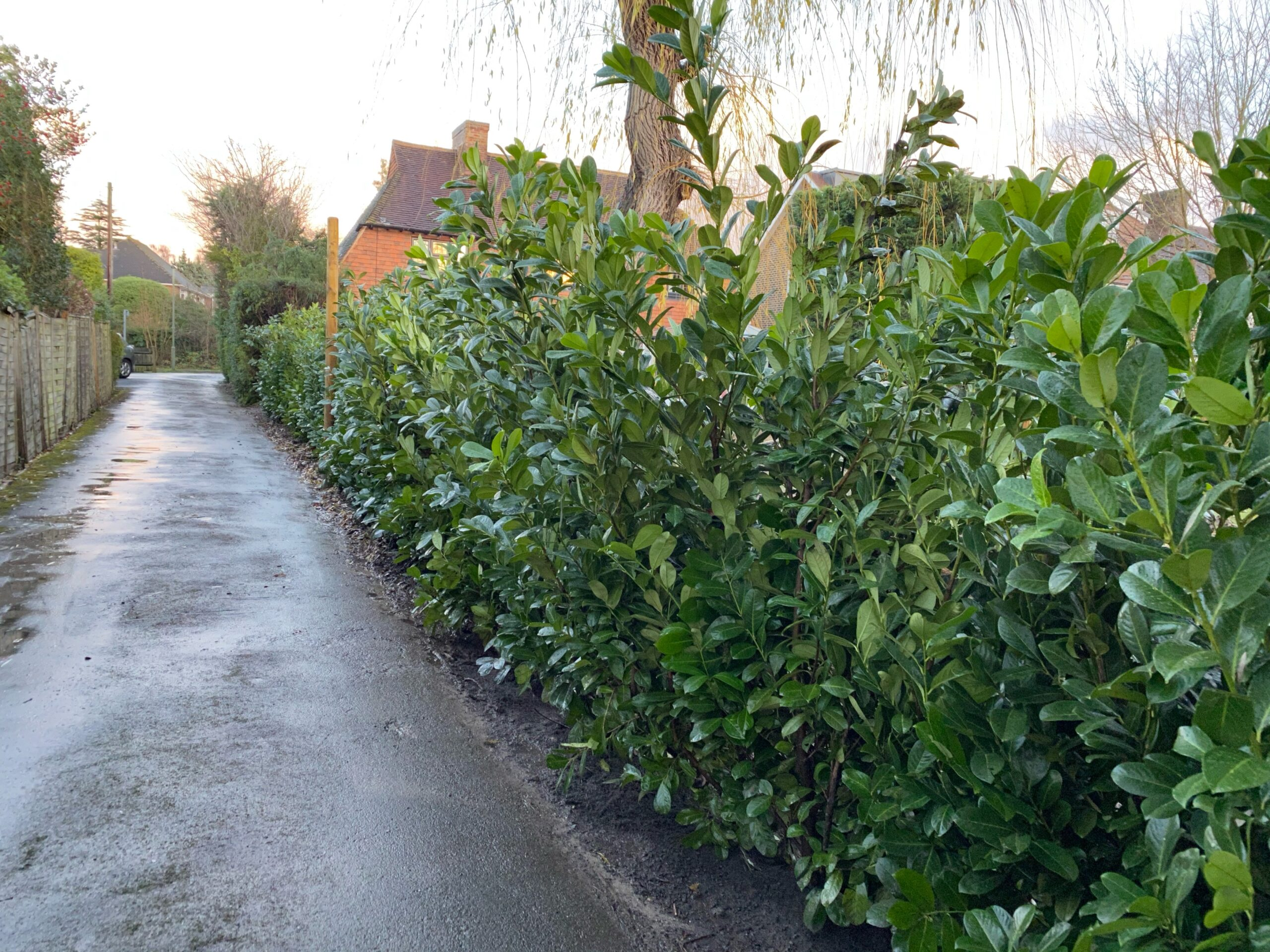 Hedge planting Ashtead