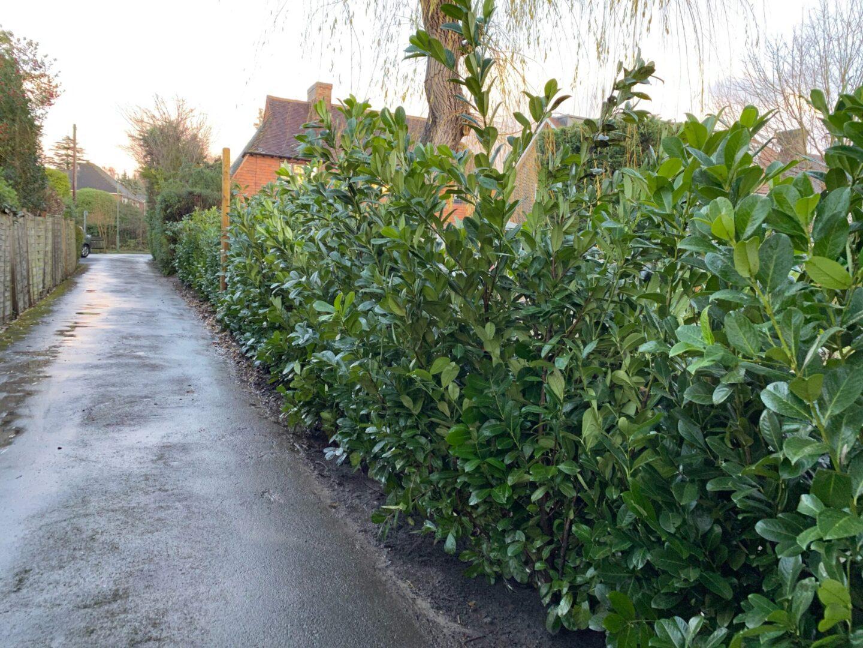Hedge planting Ashtead