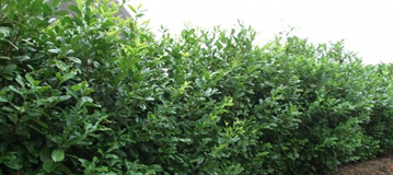 Laurel-Instant-Hedging