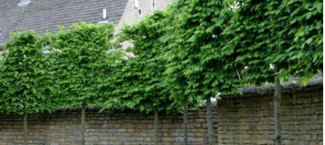 Pleached-Screens-for-the-garden