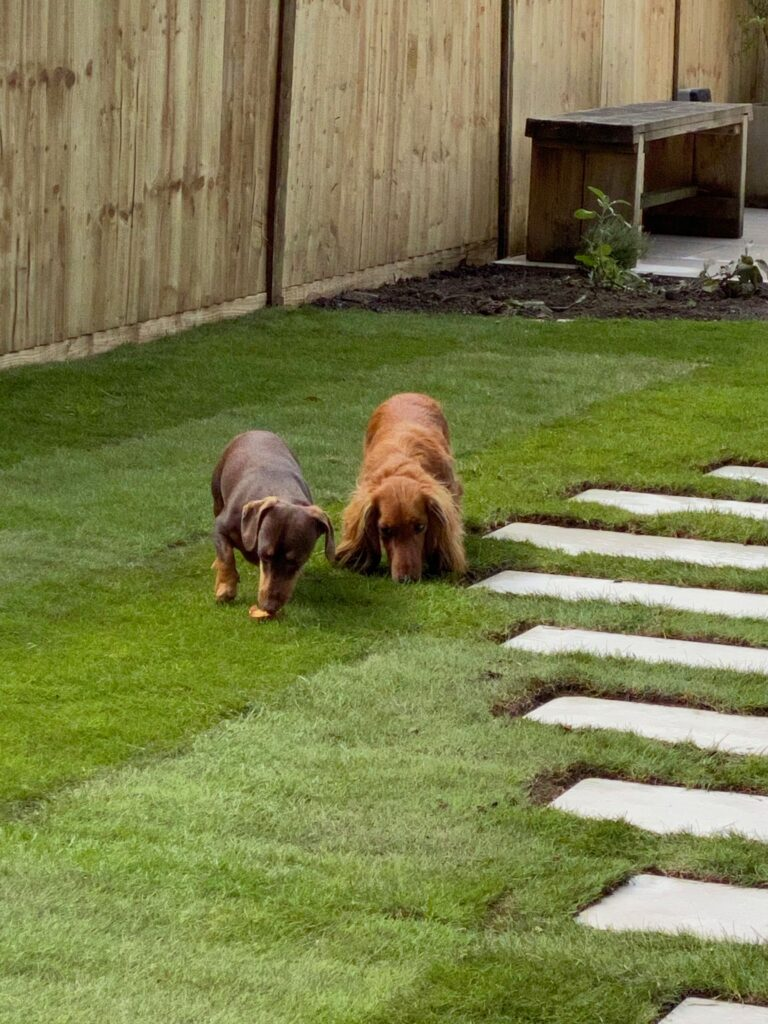 Dogs enjoying the lawn