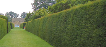 yew-hedging-359-160